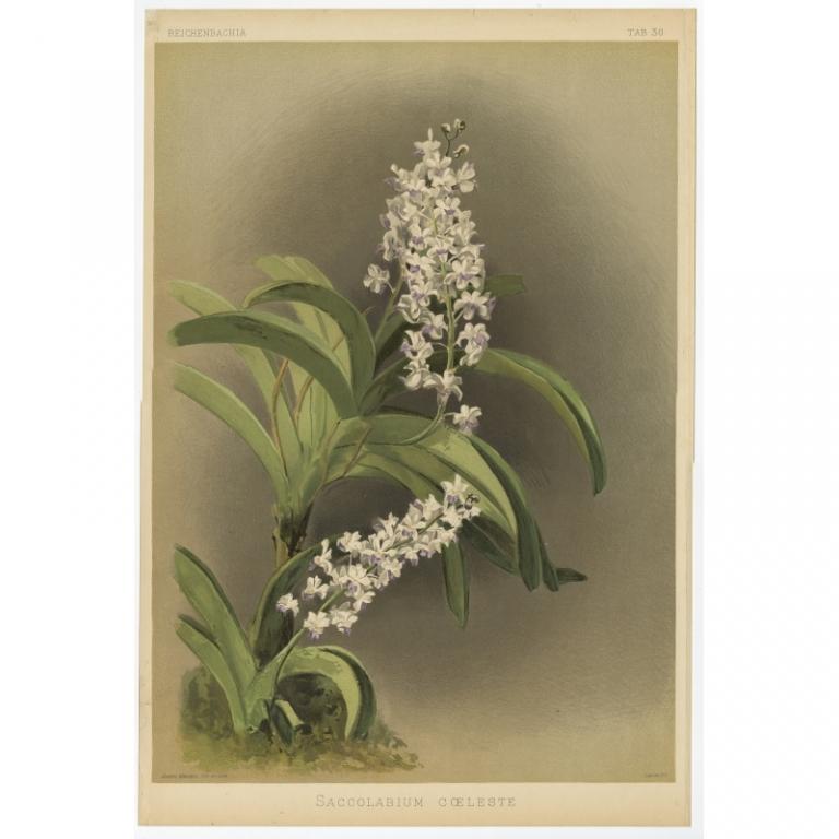 Reichenbachia - Tab 30 - Saccolabium coeleste - Mansell (1888)