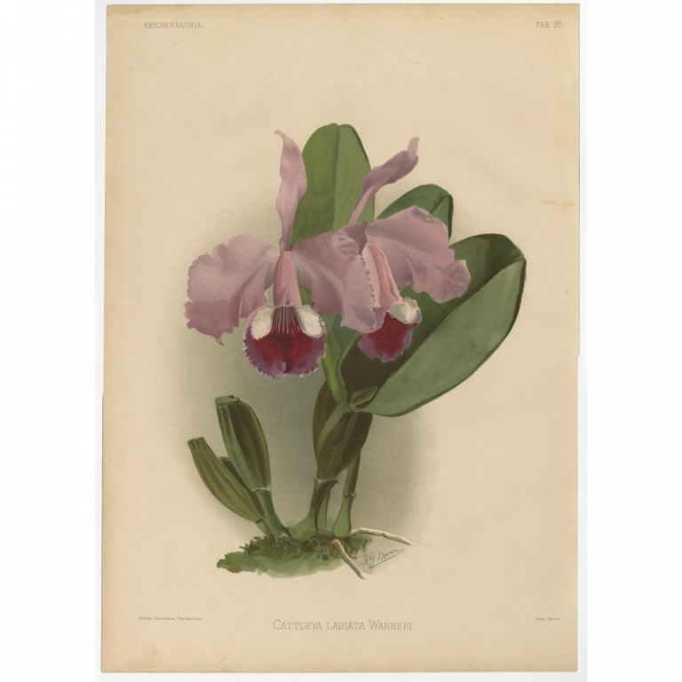 Reichenbachia - Tab 95 - Cattleya labiata Warneri - Leutzsch (1888)