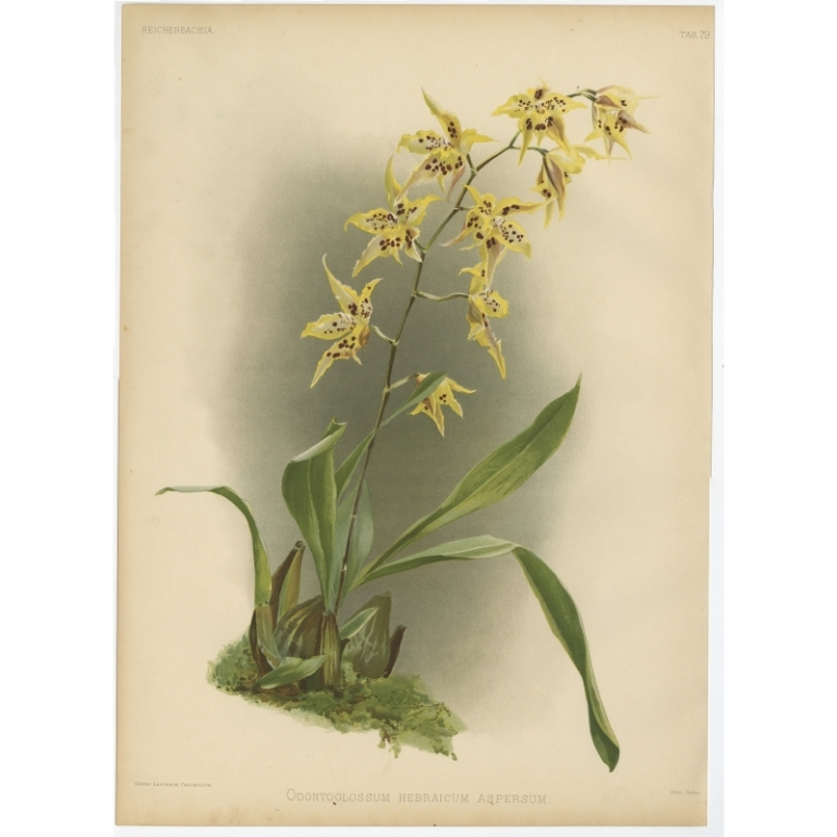 Reichenbachia - Tab 79 - Odontoglossum hebraicum aspersum - Leutzsch (1888)