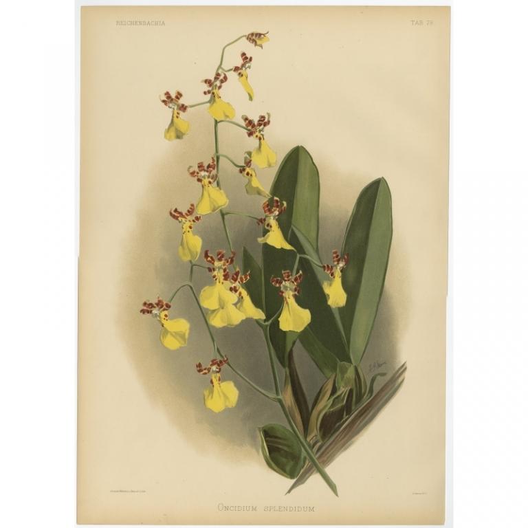 Reichenbachia - Tab 78 - Oncidium splendidum - Mansell (1888)