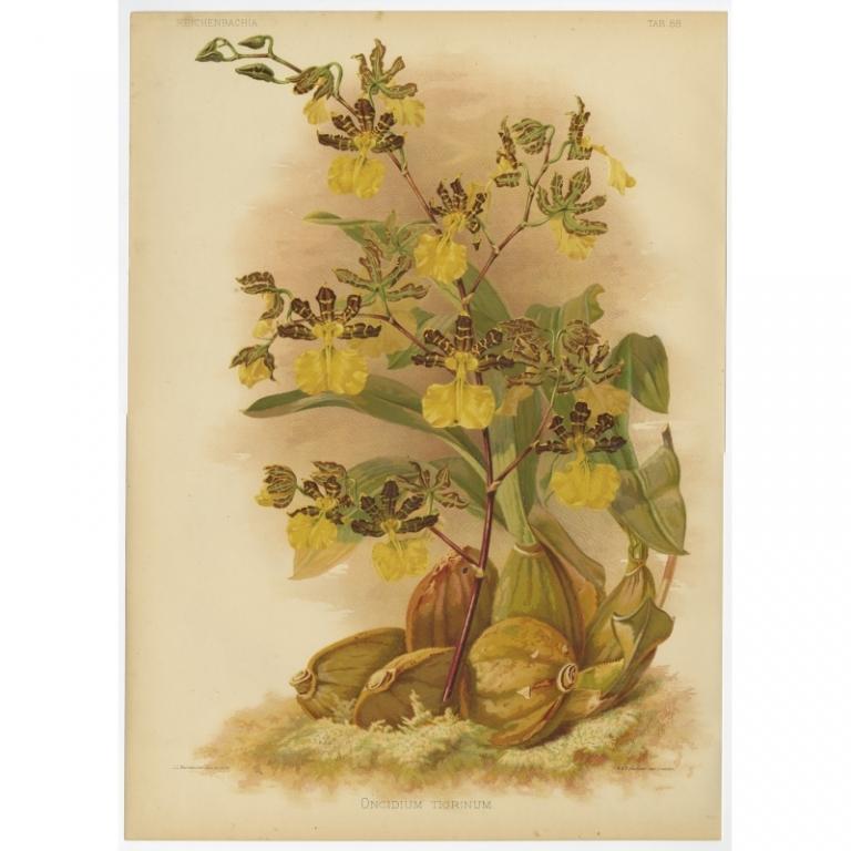 Reichenbachia - Tab 88 - Oncidium tigrinum - Macfarlane (1888)