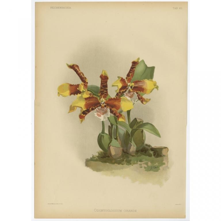 Reichenbachia - Tab 60 - Odontoglossum grande - Mansell (1888)