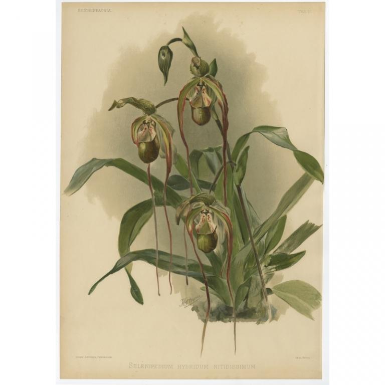 Reichenbachia - Tab 27 - Selenipedium hybridum nitidissimum - Leutzsch (1888)