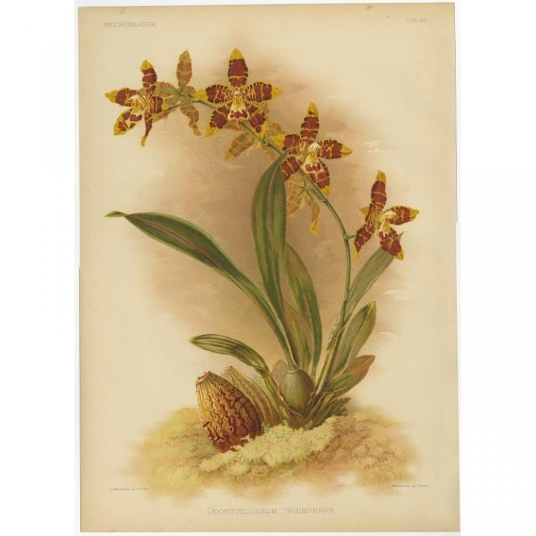 Reichenbachia - Tab 86 - Odontoglossum triumphans - Macfarlane (1888)
