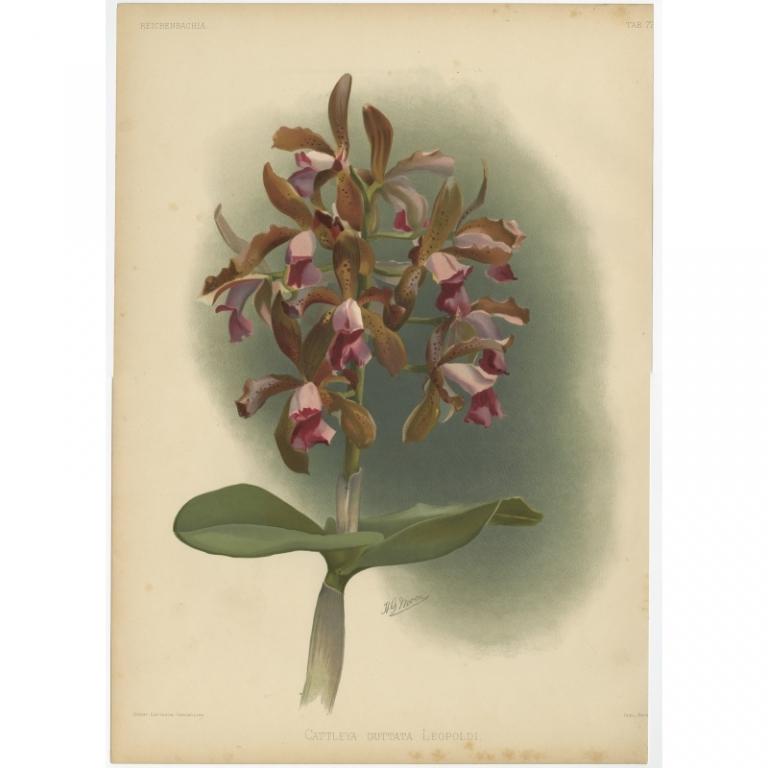 Reichenbachia - Tab 77 - Cattleya guttata Leopoldi - Leutzsch (1888)