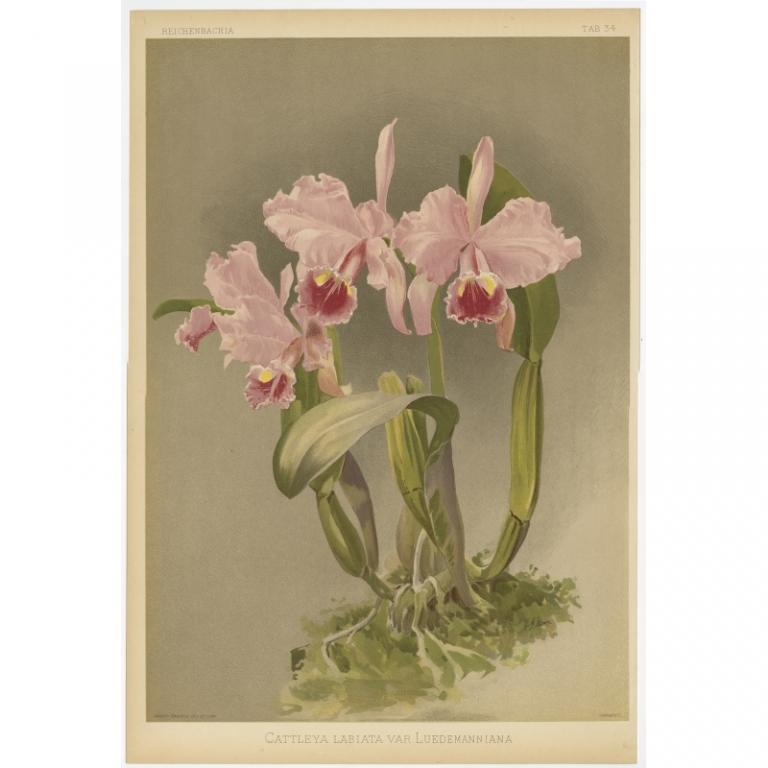 Reichenbachia - Tab 34 - Cattleya labiata var Luedemanniana - Mansell (1880)