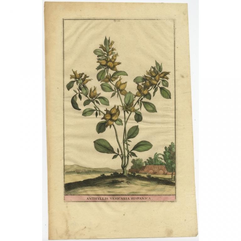 Anthyllis Vesicaria Hispanica - Munting (1696)