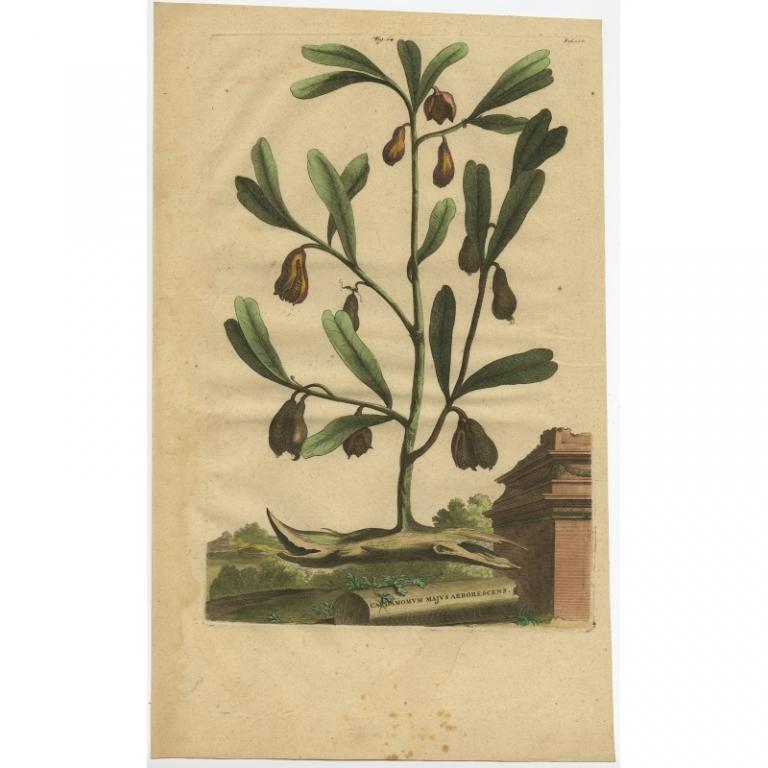 Cardamomum majus arborescens - Munting (1696)