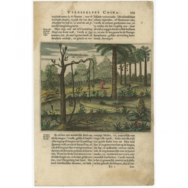 Untitled Print of Chinese plants and trees (Clematis etc.) - Kircher (c.1660)