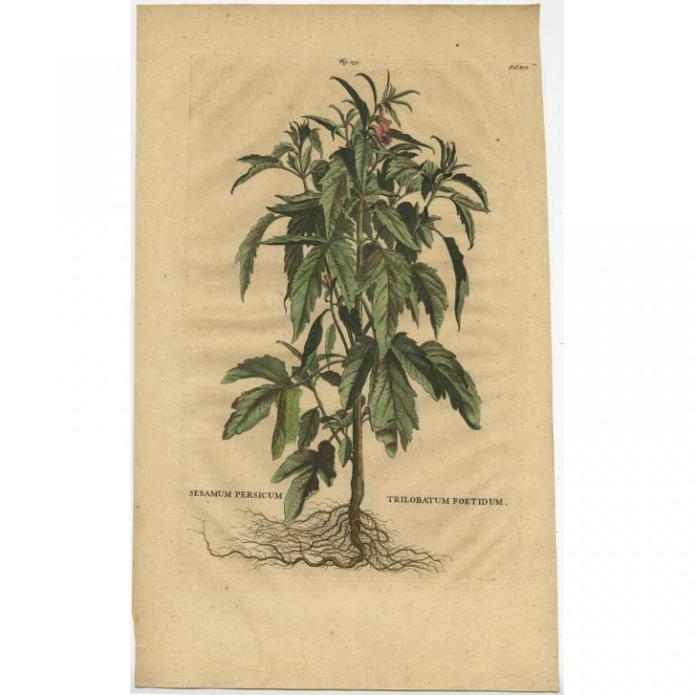 Sesamum Persicum Trilobatum Foetidum - Munting (1696)