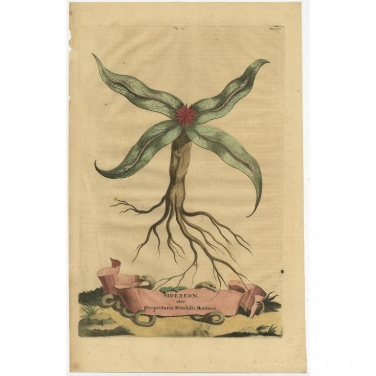 Sidereon sive Serpentaria Mirabilis Montana - Munting (1696)