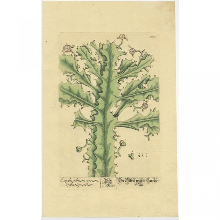 Euphorbium verum Antiquorum - Blackwell (1760)
