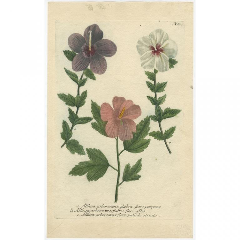 Althaea arborescens (..) - Weinmann (c.1740)