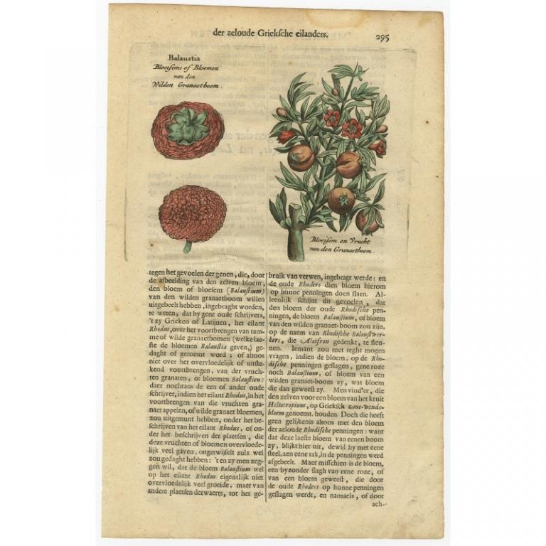 Balaustia. Bloeisems of bloemen van den Wilden Granaetboom - Dapper (1688)