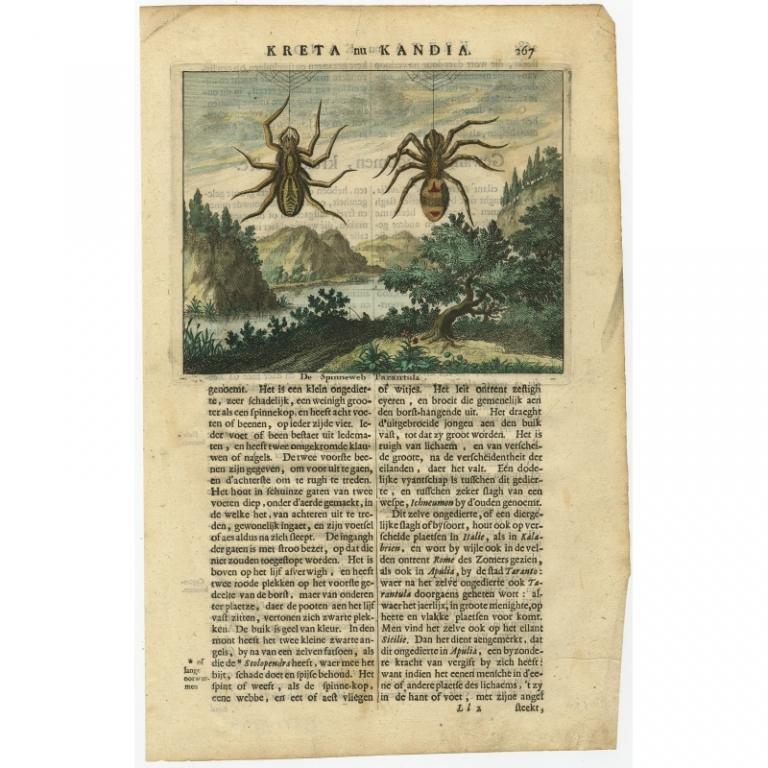 De Spinneweb Tarantula - Dapper (1688)