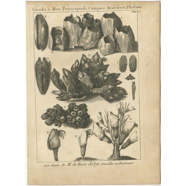Glands de Mer, Poussepieds (..) - Flipart (1742)