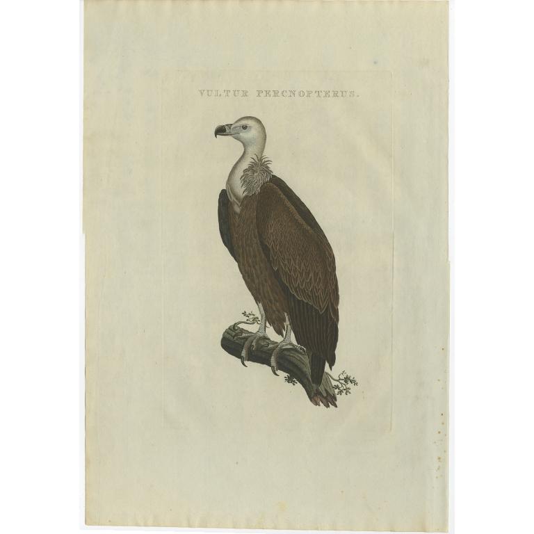 Vultur Percnopterus - Sepp & Nozeman (1829)