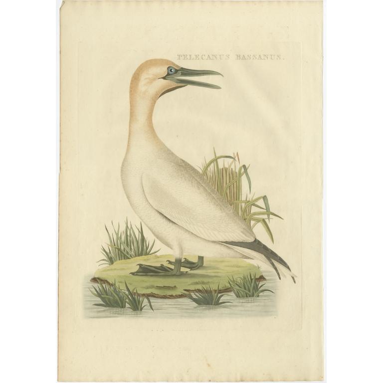 Pelecanus Bassanus - Sepp & Nozeman (1829)
