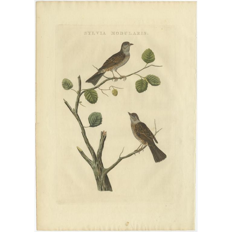 Sylvia Modularis - Sepp & Nozeman (1829)