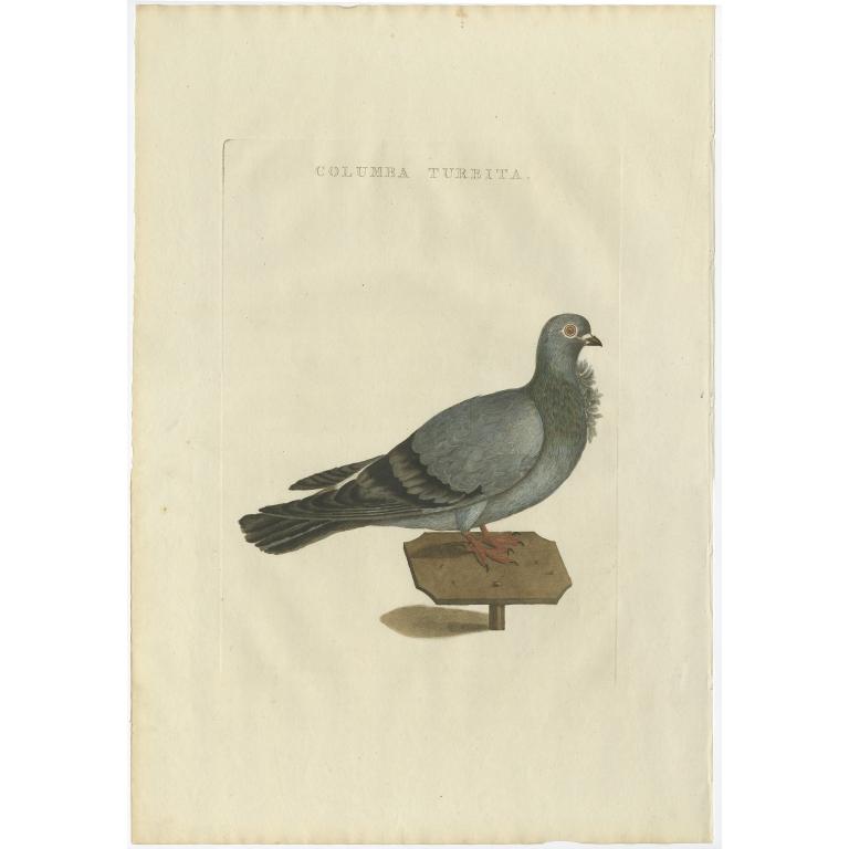 Columba Turbita - Sepp & Nozeman (1829)