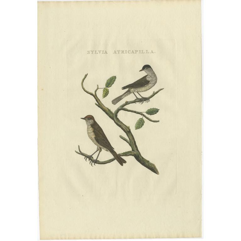 Sylvia Atricapilla - Sepp & Nozeman (1829)
