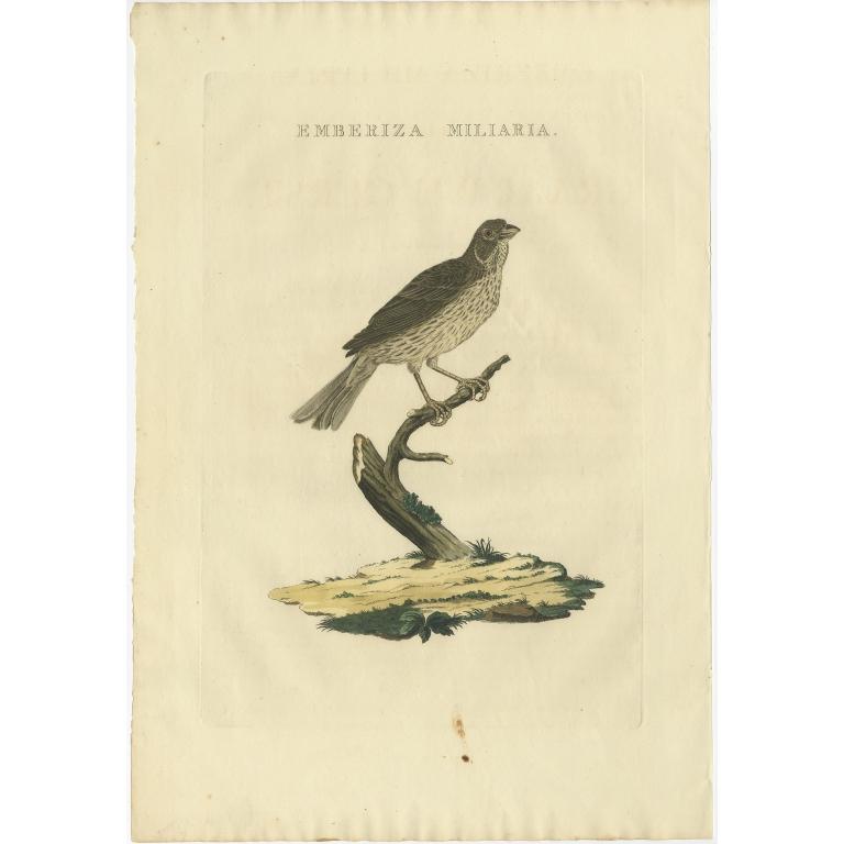Emberiza Miliaria - Sepp & Nozeman (1829)