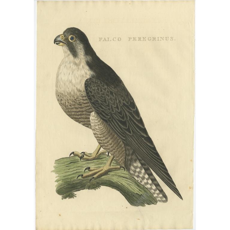 Falco Peregrinus - Sepp & Nozeman (1829)