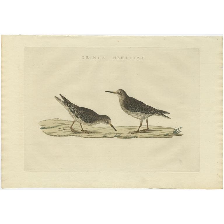 Tringa Maritima - Sepp & Nozeman (1829)