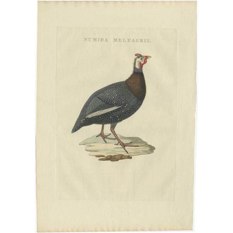 Numida Meleagris - Sepp & Nozeman (1829)