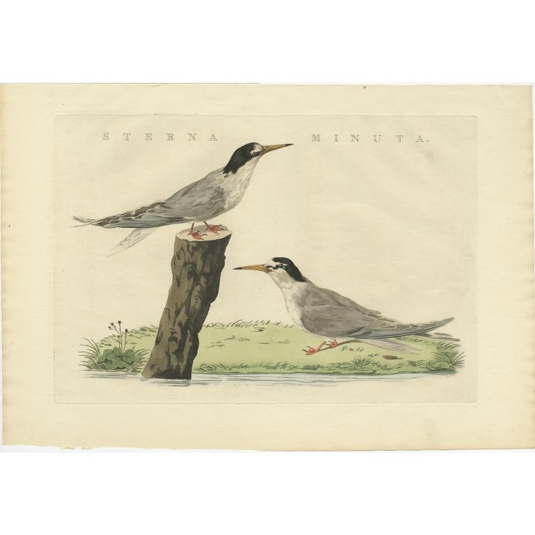 Sterna Minuta - Sepp & Nozeman (1829)