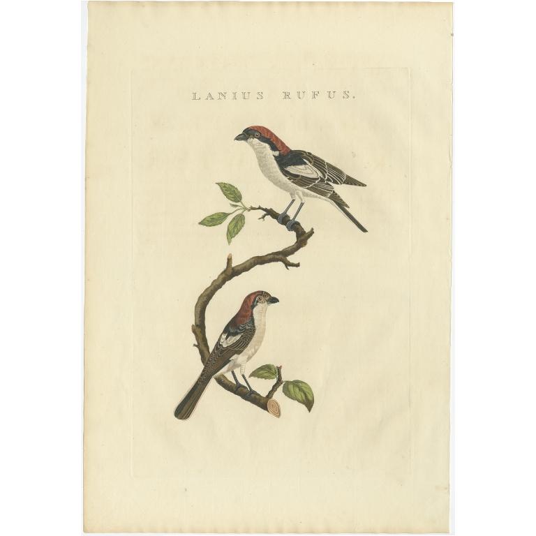 Lanius Rufus - Sepp & Nozeman (1829)