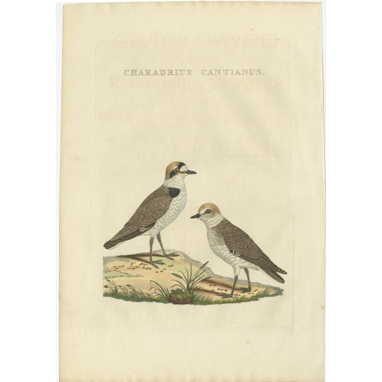 Charadrius Cantianus - Sepp & Nozeman (1829)