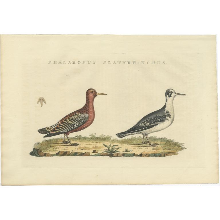 Phalaropus Platyrhinchus - Sepp & Nozeman (1829)