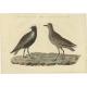 Vanellus Melanogaster - Sepp & Nozeman (1829)