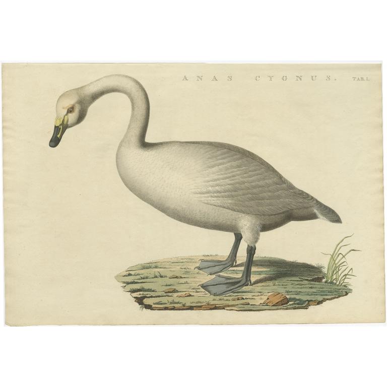 Anas Cygnus - Sepp & Nozeman (1829)
