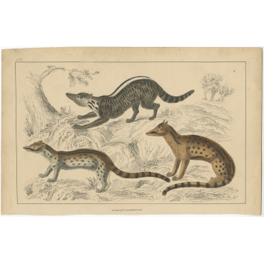 LXII Untitled Print of a Zibet - Fullarton (c.1860)