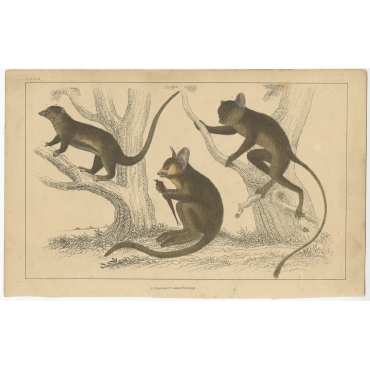 LXVII Untitled Print of a Little Galago - Fullarton (c.1860)
