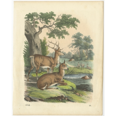Untitled Print of Deer - Hoffmann (1854)