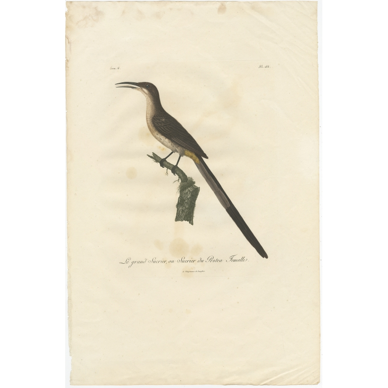 Le grand Sucrier (..) - Levaillant (c.1810)