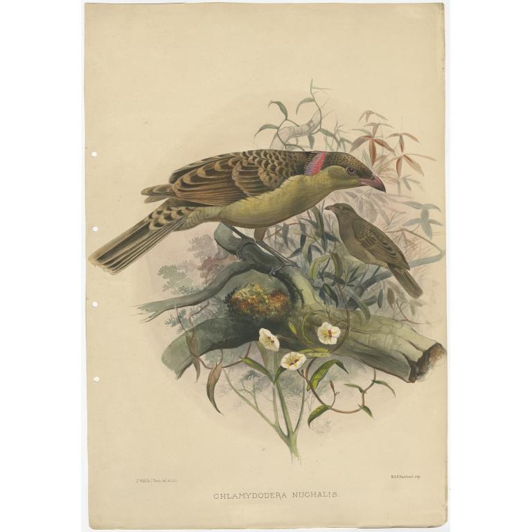 Chlamydodera Nuchalis - Elliot (c.1873)