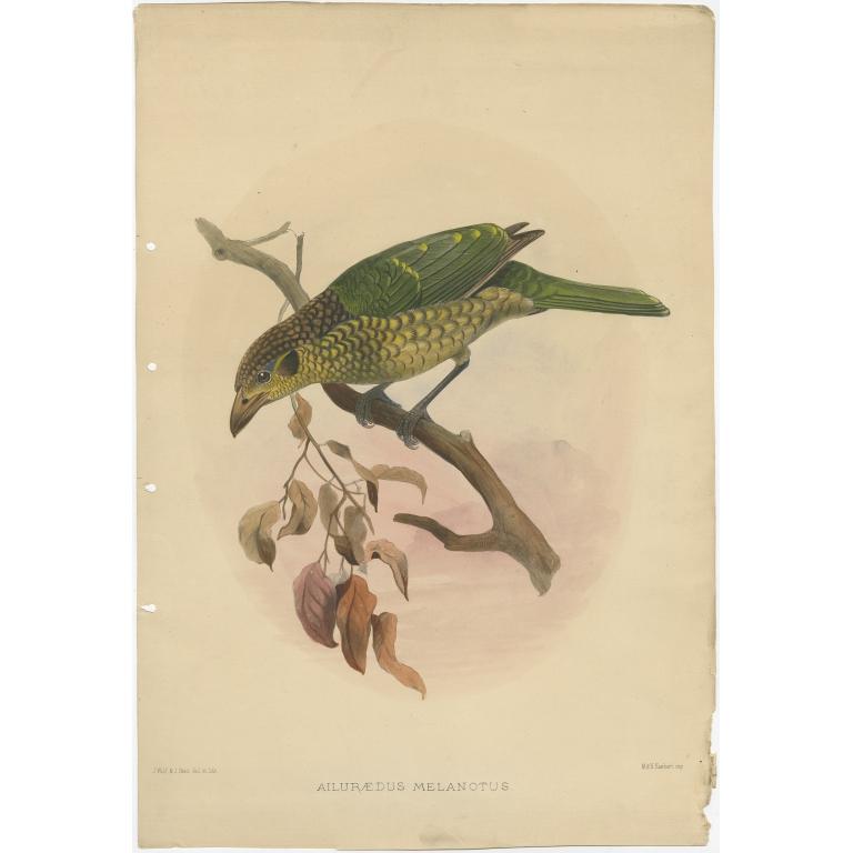 Ailuraedus Melanotus - Elliot (c.1873)