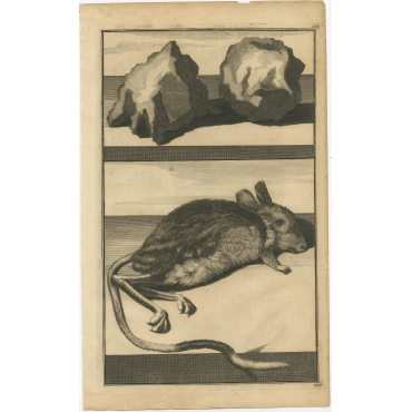 Untitled Print of Hailstones and a Jerboa - De Bruyn (1698)