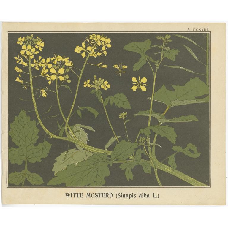 Witte Mosterd - Klaver (1905)