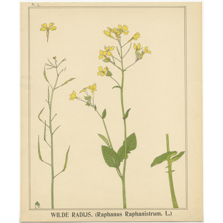 Wilde Radijs - Klaver (1905)