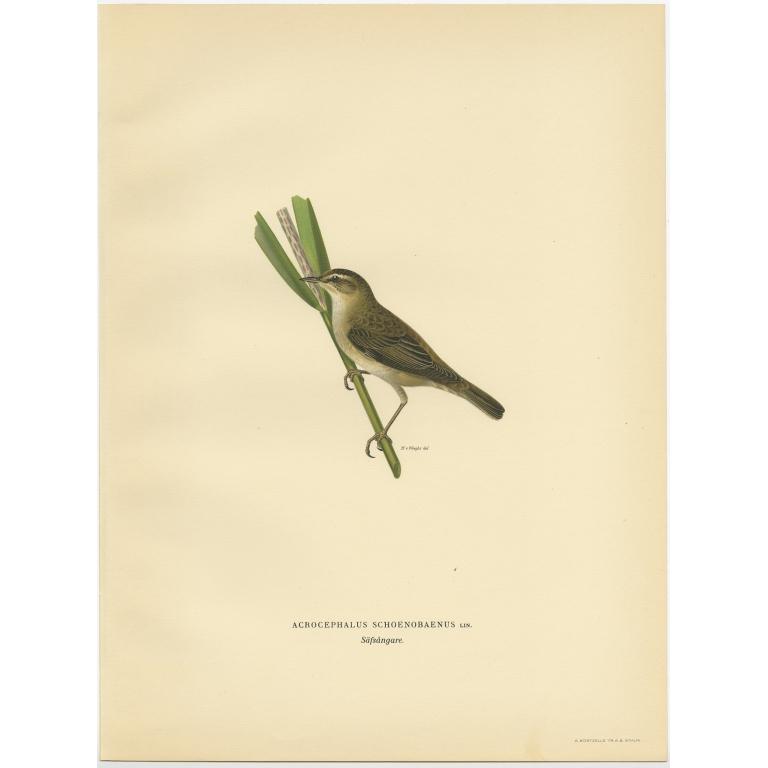 Acrocephalus Schoenobaenus - Von Wright (1927)