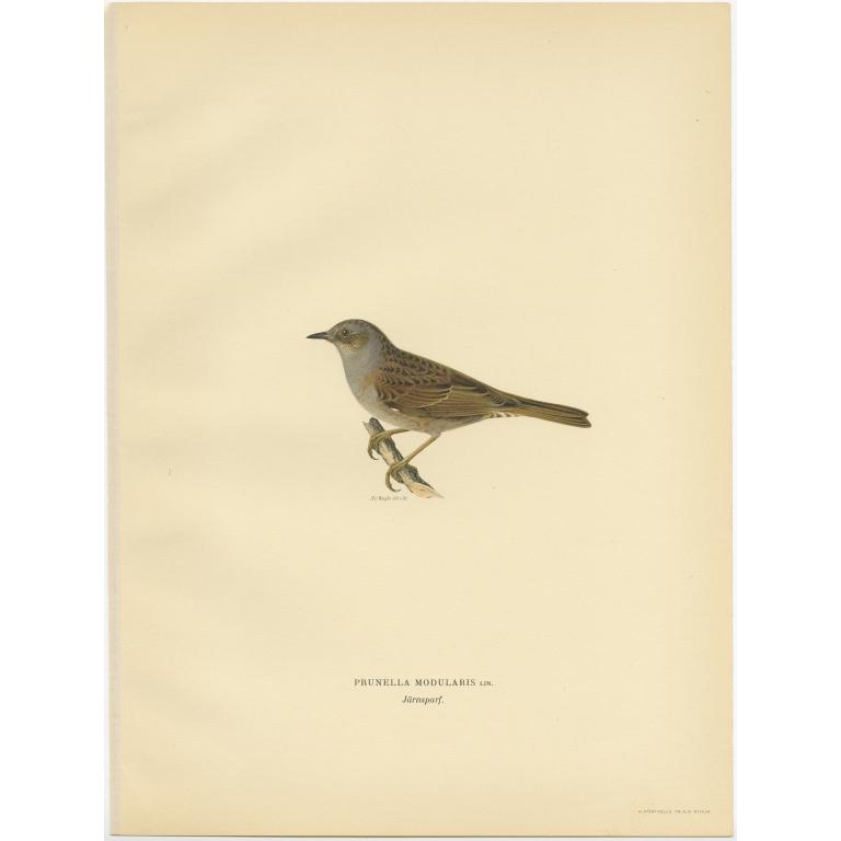 Prunella Modularis - Von Wright (1927)