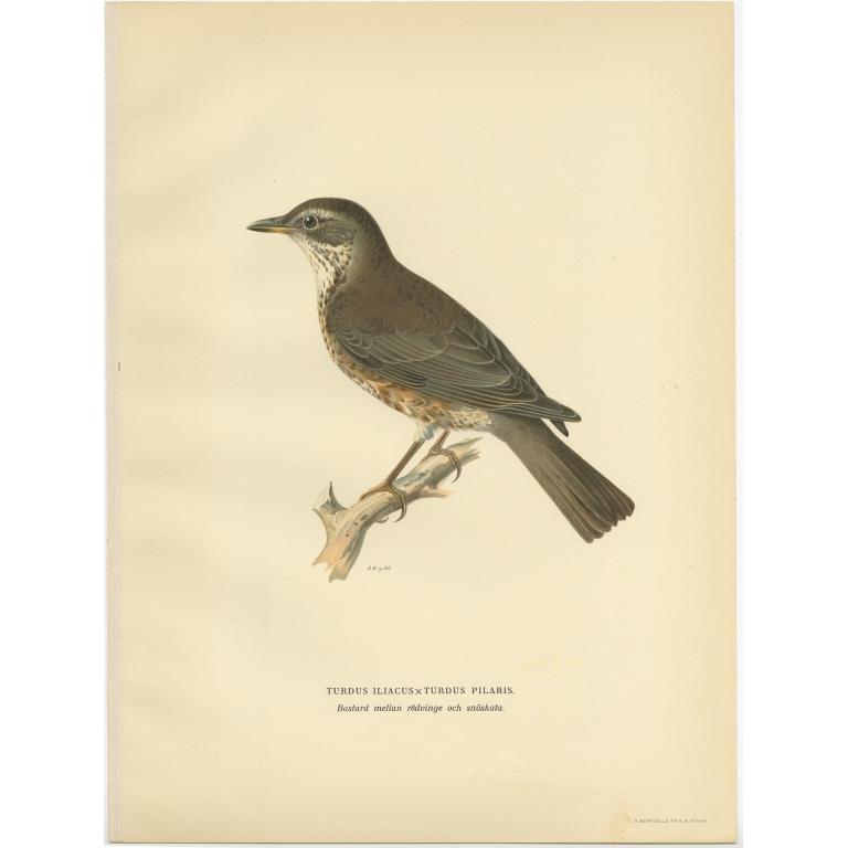 Turdus Iliacus x Turdus Pilaris - Von Wright (1927)