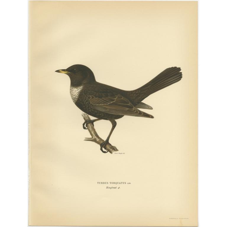 Turdus Torquatus - Von Wright (1927)