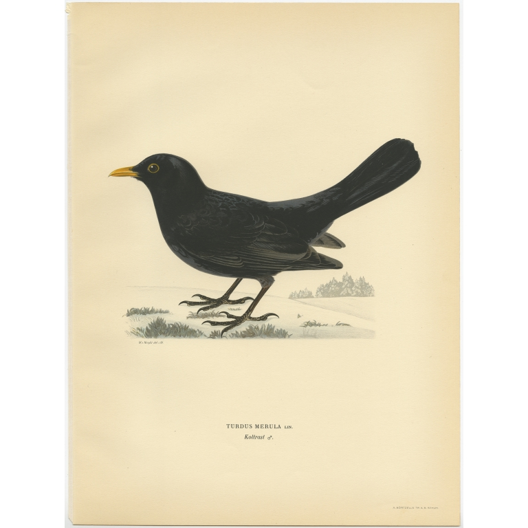 Turdus Merula - Von Wright (1927)