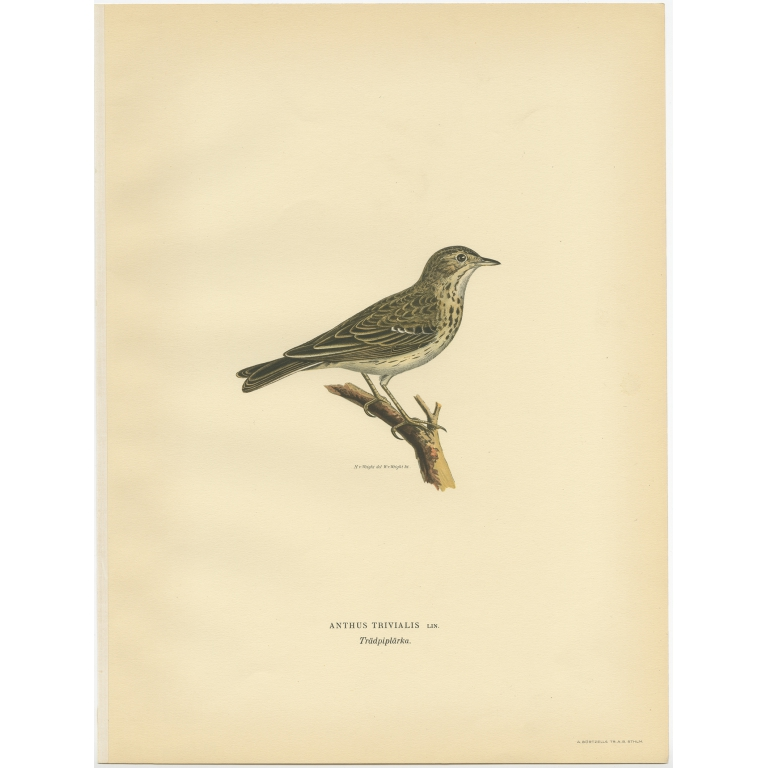 Anthus Trivialis - Von Wright (1927)
